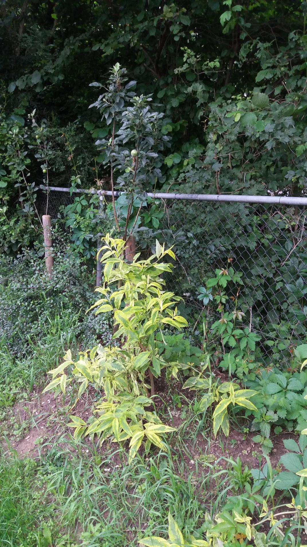 vlinderstruiken en perenboom